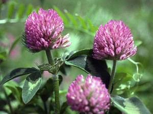 Clover, easy to recognize!