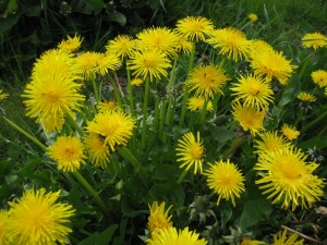 "Dandelion, from dent de lion, or ""Lion's Tooth"""